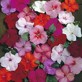 Impatiens Tiny Tots - Bizzy Lizzies - Annual - 25 Seeds