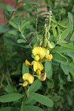 Crotalaria Damarensis - Indigenous South African Annual - 10 Seeds