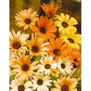 Dimorphotheca Mixed Colours - Mixed African Daisies - Indigenous South African Annual - 10 Seeds