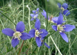 Heliophila Coronopifolia - Indigenous South African Annual - 10 Seeds