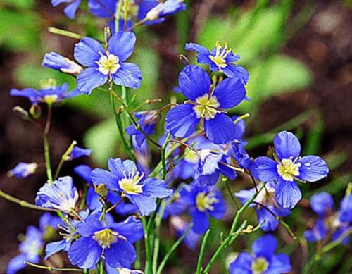 Heliophila Digitata - Indigenous South African Annual - 10 Seeds