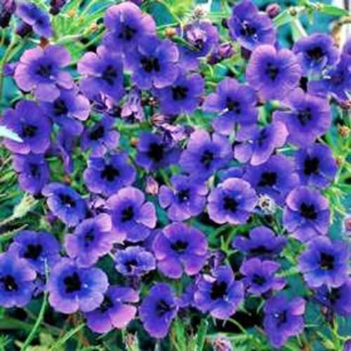Monopsis Debilis - Indigenous South African Annual - 10 Seeds