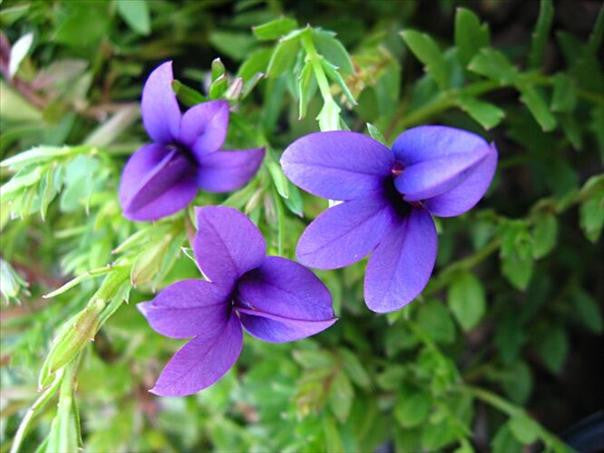 Monopsis Unidentata - Indigenous South African Annual - 10 Seeds