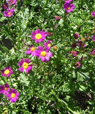 Senecio Elegans - Indigenous South African Annual - 10 Seeds