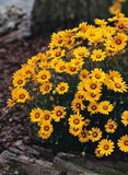 Ursinia Anthemoides - Indigenous South African Annual - 10 Seeds