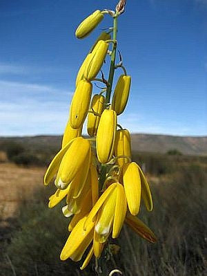 Albuca Clanwilliamigloria - Indigenous South African Bulb - 10 Seeds