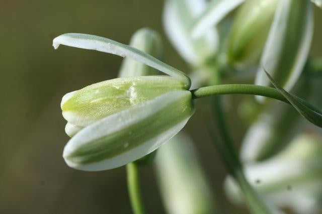 Albuca Maxima - Indigenous South African Bulb - 10 Seeds