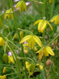 Albuca Shawii - Indigenous South African Bulb - 10 Seeds