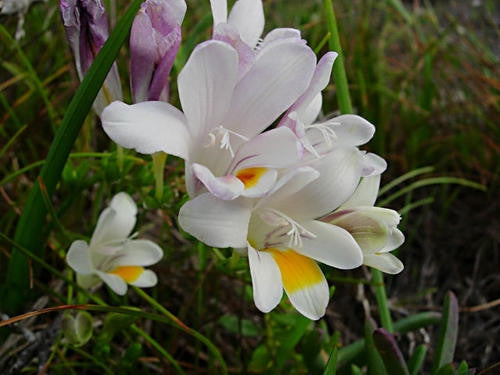 Freesia Alba - Indigenous South African Bulb - 5 Seeds