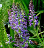 lachenalia Purpureo-caerulia - Indigenous South African Bulb - 5 Seeds