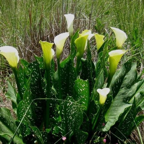 Zantedeschia Albomaculata - Indigenous South African Bulb - 5 Seeds