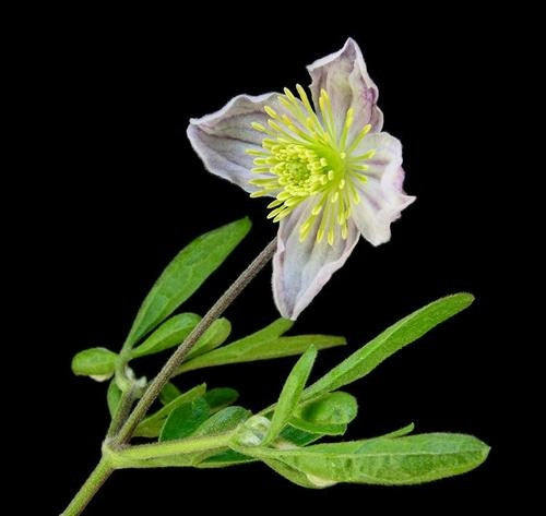 Clematis Brachiata - Indigenous South African Vine / Climber - 10 Seeds