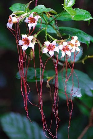 Strophanthus Petersianus - Indigenous South African Vine / Climber - 10 Seeds