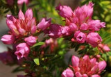 Erica Taxifolia - Indigenous South African Heath Shrub - 10 Seeds