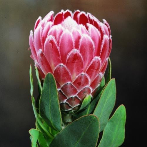 Protea Eximia - Indigenous South African Protea - 5 Seeds
