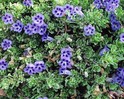 Aptosimum Procumbens - Indigenous South African Creeper / Ground Cover - 10 Seeds
