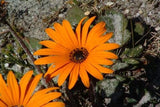 Arctotis Acaulis - Indigenous South African Creeper / Ground Cover - 10 Seeds