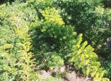 "Asparagus Densiflorus ""Flagstaff"" - Indigenous South African Creeper / Ground Cover - 10 Seeds"