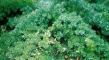 "Asparagus Densiflorus ""Mazeppa"" - Indigenous South African Creeper / Ground Cover - 10 Seeds"