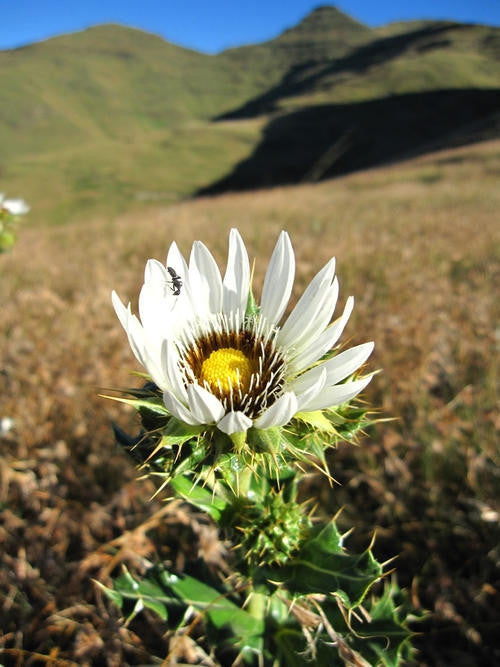 Berkheya Cirsiifolia - Indigenous South African Perrenial Shrub - 10 Seeds