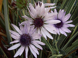 Berkheya Purpurea - Indigenous South African Perrenial Shrub - 10 Seeds
