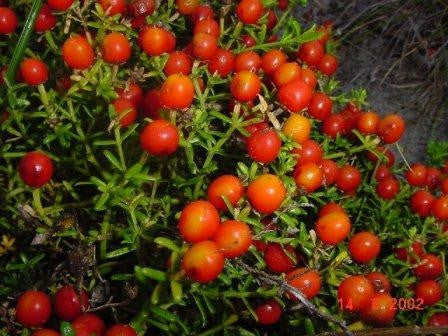 Chironia Baccifera - Indigenous South African Perrenial Shrub - 10 Seeds