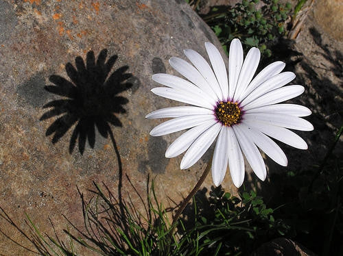 Dimorphotheca Naudicaulis - Indigenous South African Perrenial Shrub - 5 Seeds