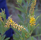 Eriosema Psoraleoides - Indigenous South African Perrenial Shrub - 5 Seeds