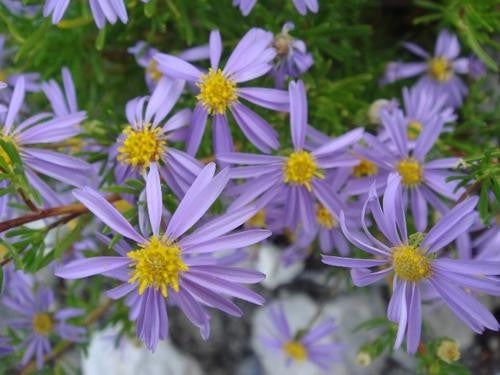 Felicia Filifolia - Indigenous South African Perrenial Shrub - 10 Seeds