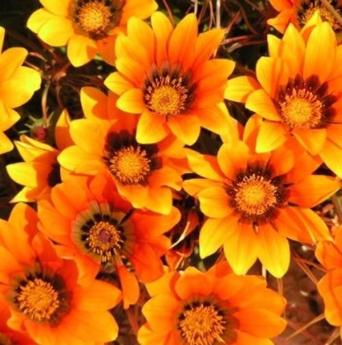 Gazania Krebsiana - Orange - Indigenous South African Perrenial Shrub - 10 Seeds