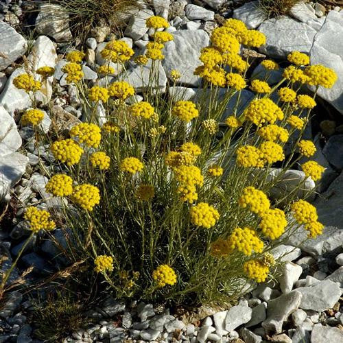 Helichrysum Nudifolium - Indigenous South African Perrenial Shrub - 10 Seeds