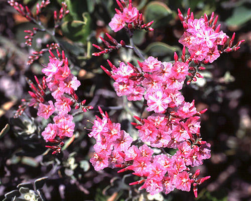 Limonium Perigrinum - Indigenous South African Perrenial Shrub - 5 Seeds