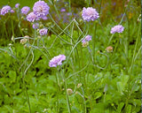 Scabiosa Africanus - Indigenous South African Perrenial Shrub - 10 Seeds