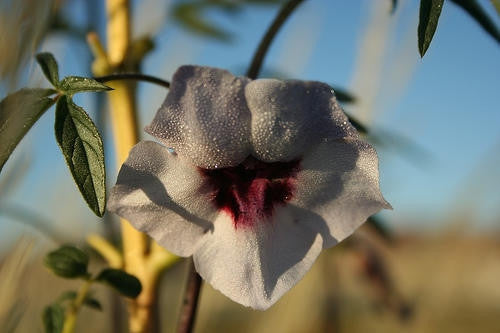 Sesamum Capense - Indigenous South African Perrenial Shrub - 10 Seeds