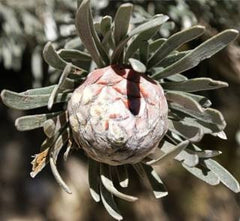 Leucadendron Album - Indigenous South African Protea - 5 Seeds