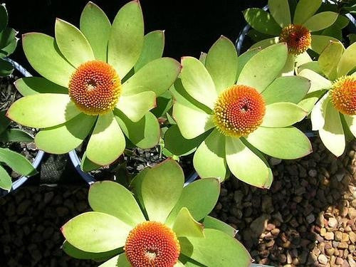 Leucadendron Laureolum - Indigenous South African Protea - 5 Seeds