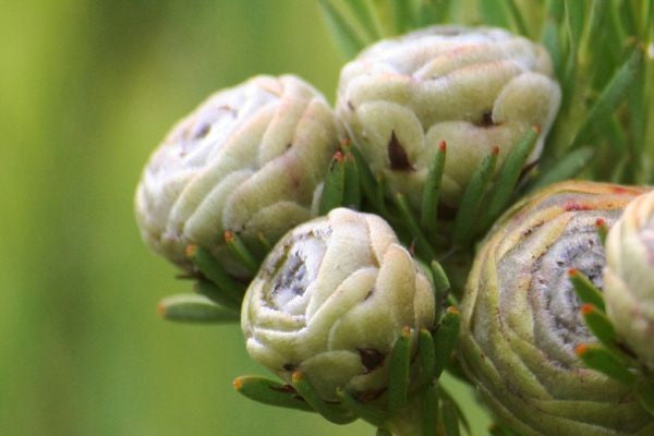 Leucadendron Linifolium - Indigenous South African Protea - 5 Seeds