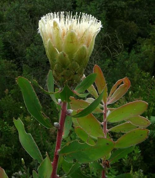 Protea Mundii - Indigenous South African Protea - 5 Seeds