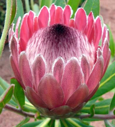 Protea Neriifolia - Indigenous South African Protea - 5 Seeds