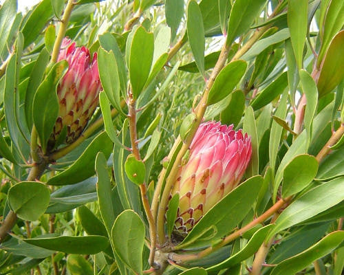 Protea Obtusifolia - Indigenous South African Protea - 5 Seeds