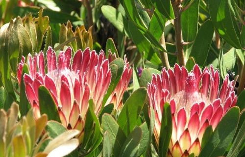 Protea Susannae - Indigenous South African Protea - 5 Seeds
