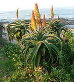 Aloe Africana - Indigenous South African Succulent - 10 Seeds