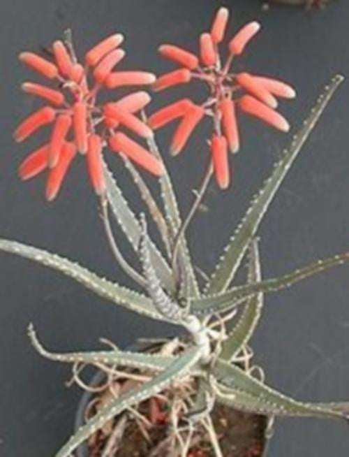 Aloe Ammophila - Indigenous South African Succulent - 10 Seeds