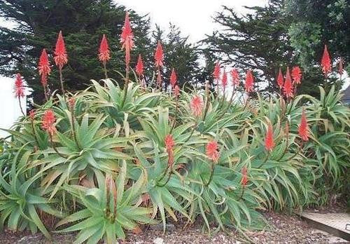 Aloe Arborescens - Indigenous South African Succulent - 10 Seeds