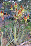 Aloe Cryptopoda - Indigenous South African Succulent - 10 Seeds