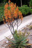 Aloe Fosteri - Indigenous South African Succulent - 10 Seeds