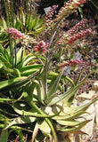 Aloe Globuligemma - Indigenous South African Succulent - 10 Seeds