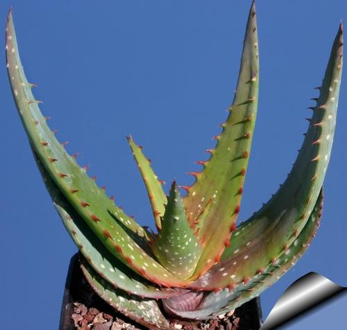 Aloe Microstigma - Indigenous South African Succulent - 10 Seeds