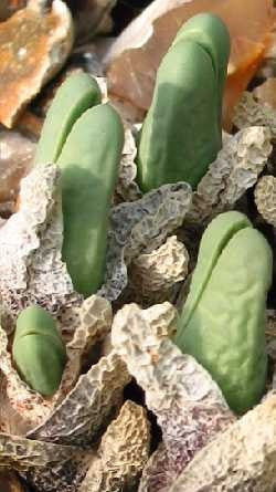 Cheiridopsis Aurea - Indigenous South African Succulent - 10 Seeds