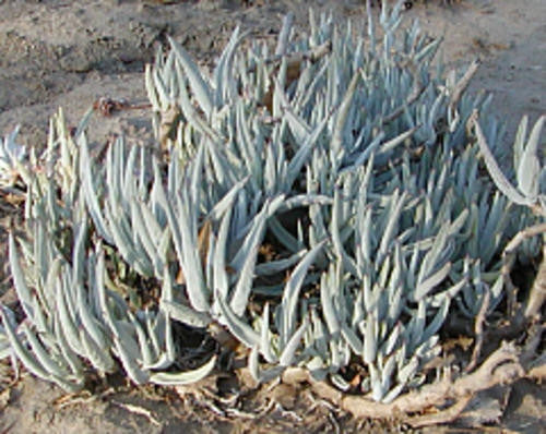 Cotyledon Orbiculata var Oblonga - Indigenous South African Succulent - 10 Seeds